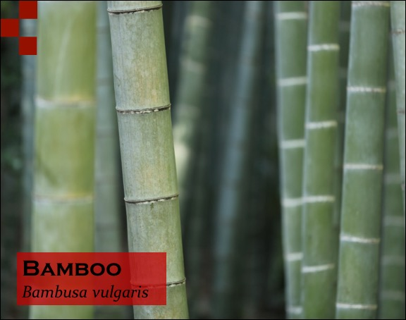 Scientific Name of Bamboo