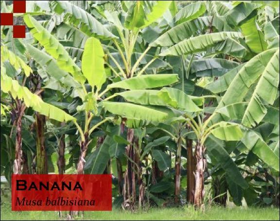 Scientific Name of Banana