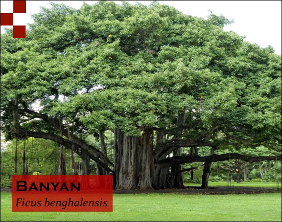 Scientific Name of Banyan