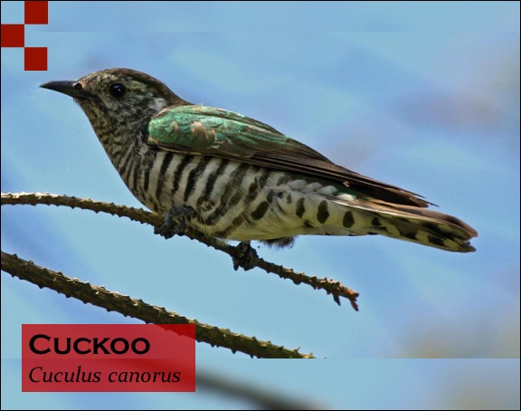 Scientific Name of Cuckoo