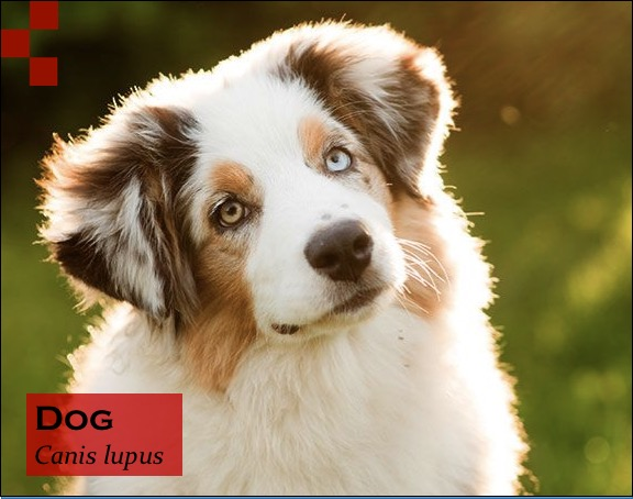 Scientific Name of Dog- Canis lupus