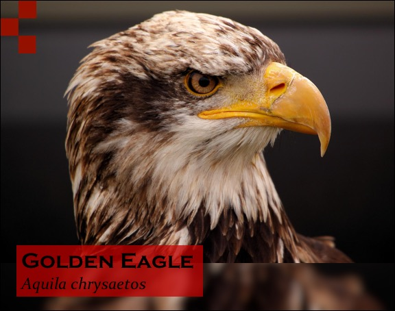 Scientific Name of Eagle