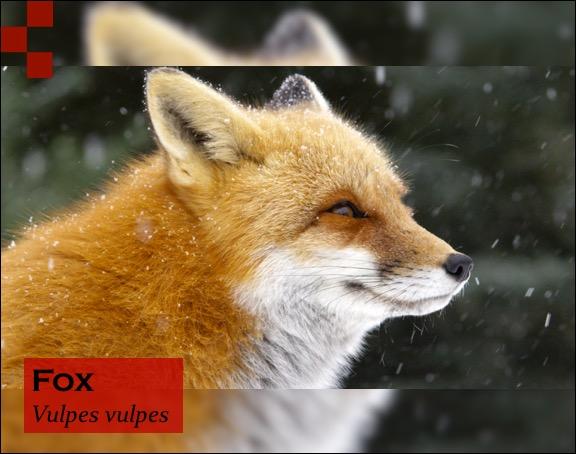 Scientific Name of Fox