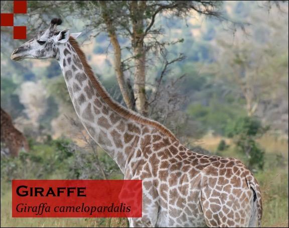 Scientific Name of Giraffe