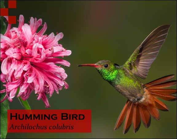 Scientific Name of Hummingbird