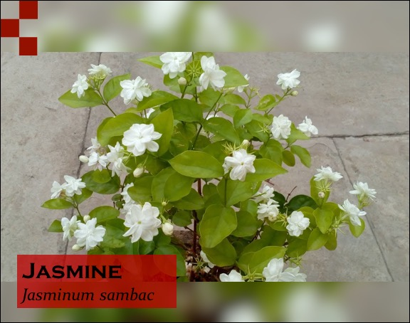 Scientific Name of Jasmine