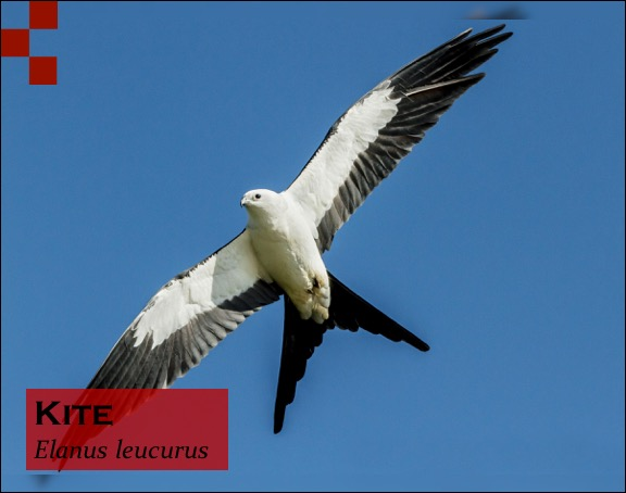 Scientific Name of Kite