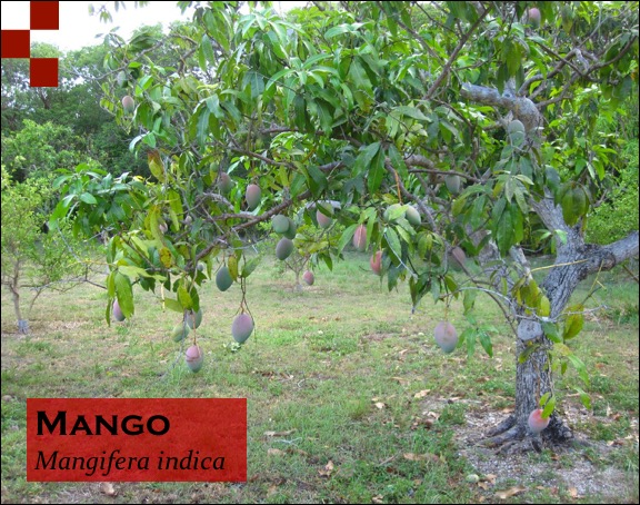 Scientific Name of Mango