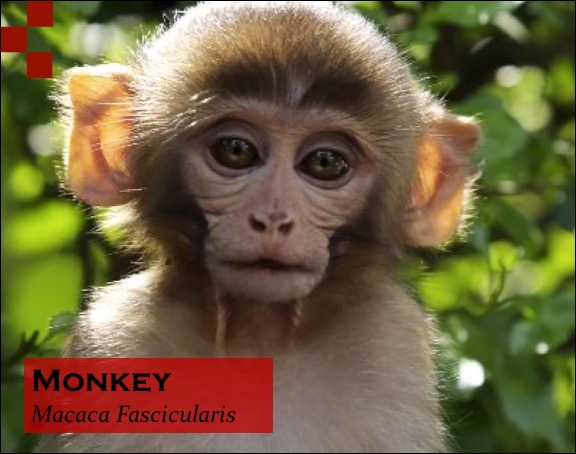 Scientific Name of Monkey