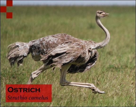 Scientific Name of Ostrich