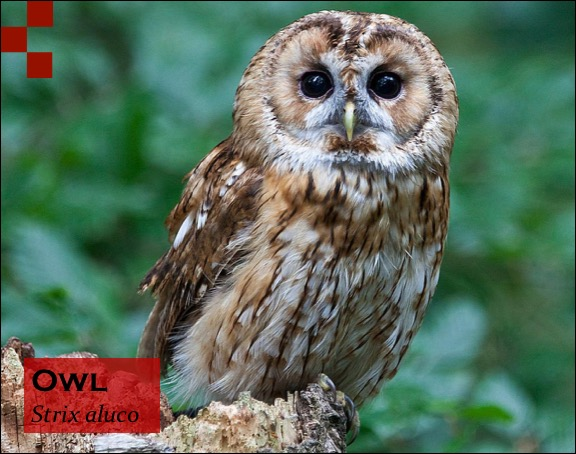Scientific Name of Owl