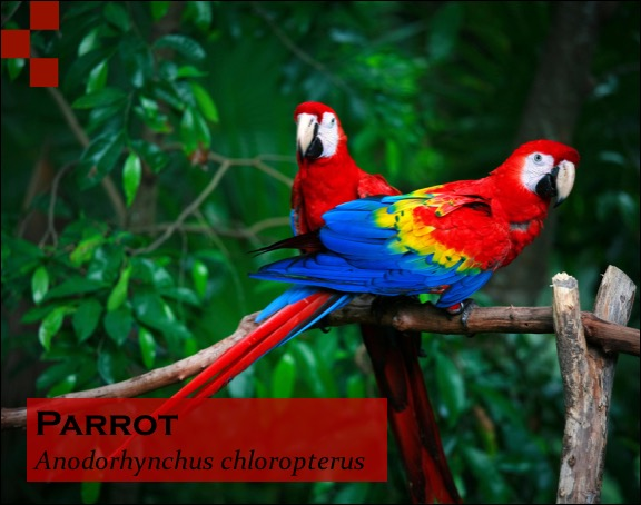 Scientific Name of Parrot