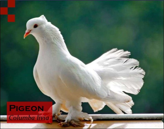 Scientific Name of Pigeon
