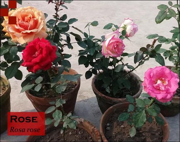 Scientific Name of Rose