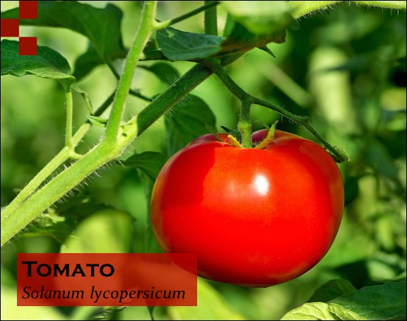 Scientific Name of Tomato