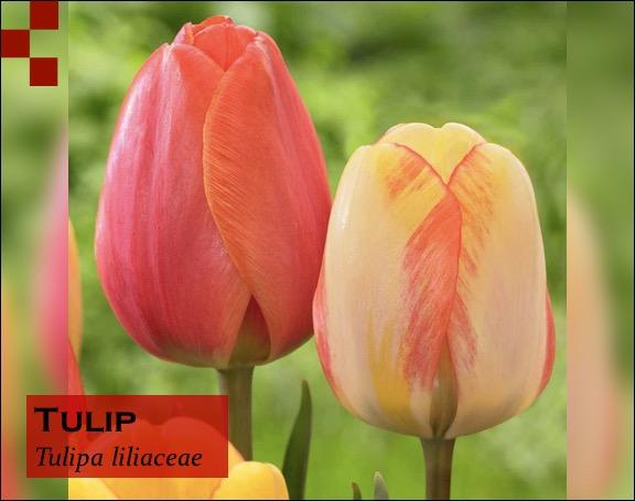 Scientific Name of Tulip