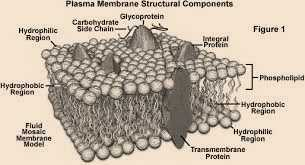 Science Class 9 Cell - The Fundamental Unit of Life Plasma Membrane