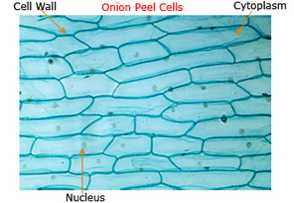 Science Class 9 Tissues cell structure