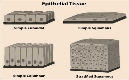 Science Class 9 Tissues epithelial tissue